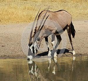 Oryx - Gemsbuck Reflections Super Stock Image - Image: 26099351