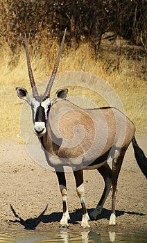 Oryx - Gemsbuck Reflections Super Stock Photography - Image: 26099482