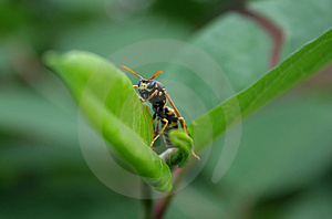 Wasp Royalty Free Stock Photo - Image: 2612335