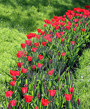 Tulipes Photographie stock - Image: 2618192