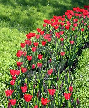 Tulipany Fotografia Stock - Obraz: 2618192