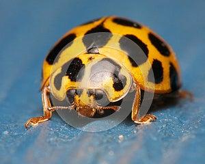 Ladybug On Blue Royalty Free Stock Image - Image: 26102706