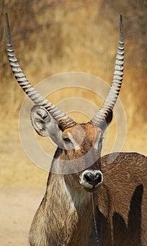 Waterbuck - Golden Portrait Of Stock Photos - Image: 26103413