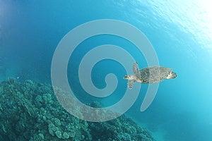 Hawksbill Turtle (Eretmochelys Imbricata) Royalty Free Stock Photos - Image: 26104318