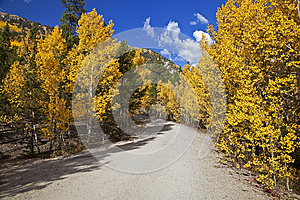 Forest Service Road Lined With Aspen Trees Royalty Free Stock Image - Image: 26145126