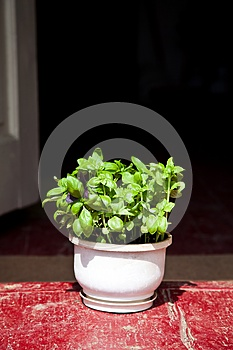 Basil Herbs In Clay Planter Royalty Free Stock Photo - Image: 26153465