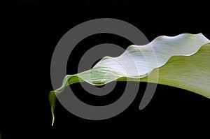 Arum Lily Royalty Free Stock Image - Image: 26165806
