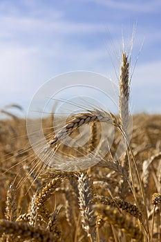 Ears Of Wheat Stock Photos - Image: 26176093
