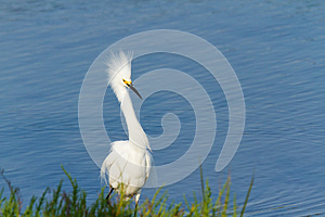 Snowy Egret Stock Images - Image: 26189684