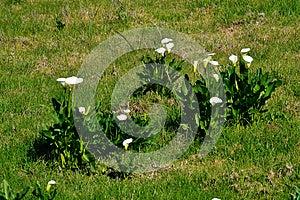 White Arum Lily Stock Image - Image: 26196991