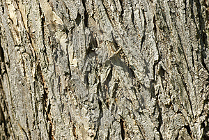 Oak Bark Royalty Free Stock Photos - Image: 2623268