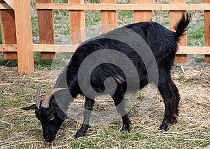 Goat Royalty Free Stock Photography - Image: 26200537
