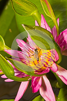 Close Up Of Lotus Flower Stock Images - Image: 26229004