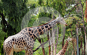 Graceful And Gentle Adult & Young Giraffe Stock Photo - Image: 26283610