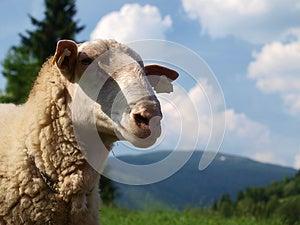 East Friesian Sheep Royalty Free Stock Image - Image: 26291276
