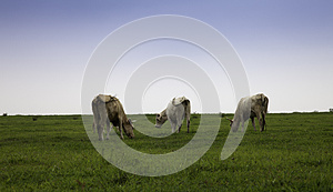 Cattle Royalty Free Stock Photo - Image: 26295745