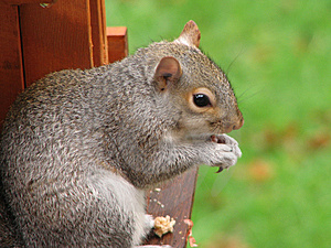 A Squirrel Stock Photography - Image: 2632852