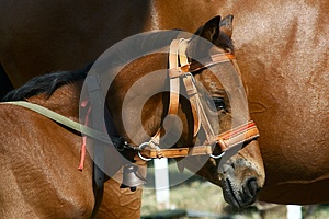 Few Weeks Old Little Horse (foal, Colt) With Bell Royalty Free Stock Photos - Image: 26303788