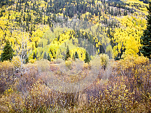 Aspens And Evergreens Royalty Free Stock Photo - Image: 26304775