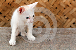 Beautiful White Colored Young Kitten Staring Stock Images - Image: 26309634