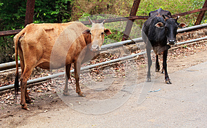 Two Old,hungry & Weak Cows Of Brown & Black Color Royalty Free Stock Photos - Image: 26309668