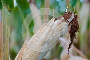 Corn Plant Closeup Stock Photos - Image: 26313253