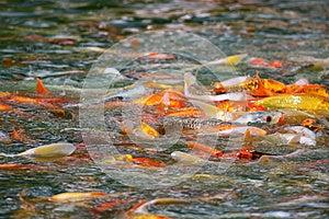 日本Koi鱼类饲食学疯狂 库存照片 - 图片: 26317073
