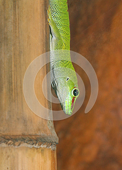 Gecko Royalty Free Stock Photography - Image: 26318887