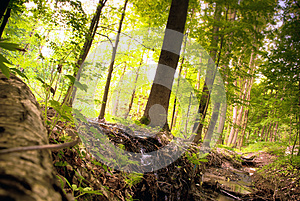 Green Pine Forest Royalty Free Stock Photo - Image: 26325135