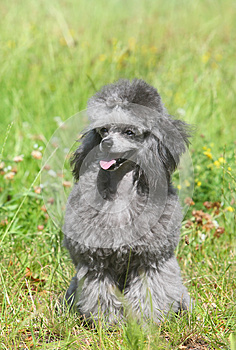 Toy Poodle On Green Grass. Stock Photo - Image: 26341110