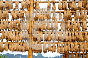 Ears Of Rice Stock Images - Image: 26350504
