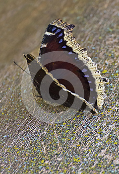 Mourning Cloak Butterfly Royalty Free Stock Image - Image: 26350666