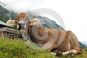 An Austrian Cow Relaxing On A Mountain Royalty Free Stock Photography - Image: 26376917