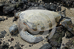 Green Sea Turtle Royalty Free Stock Photography - Image: 26382777