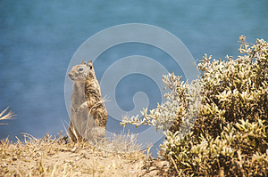 California Ground Squirrel Stock Photography - Image: 26383852