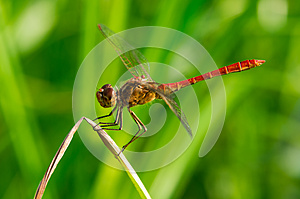 Red Dragonfly Royalty Free Stock Images - Image: 26384229