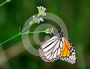 Monarch Stock Images - Image: 26384614