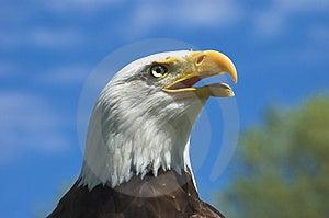 Bald Eagle Profile Free Stock Image