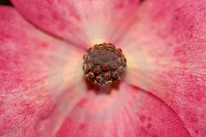 Macro Of A Magnolia Royalty Free Stock Images - Image: 2647399