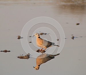 Cape Turtle Dove - African Gamebird And Reflection Royalty Free Stock Photos - Image: 26468758