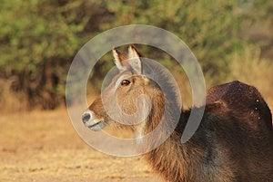 Waterbuck - African Antelope, Alert Stock Photo - Image: 26470160