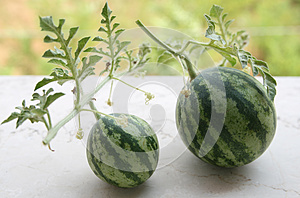 Watermelon Bonsai Stock Photography - Image: 26474702