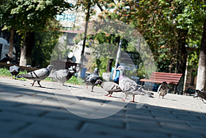 Pigeons In The Park Royalty Free Stock Image - Image: 26474836