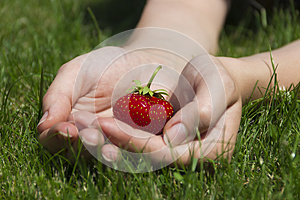 Appetizing Strawberry In Hands Royalty Free Stock Image - Image: 26477766