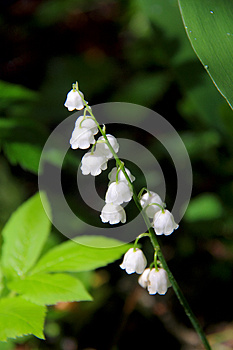 Lily Of The Valley. Spring. Royalty Free Stock Image - Image: 26479606