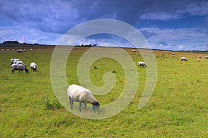 Sheep On Meadow Royalty Free Stock Photography - Image: 26490567