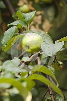 One Green Apple On Apple-tree Branch Vertical View Royalty Free Stock Photos - Image: 26499298