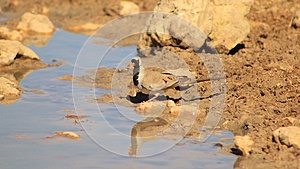 Namaquae Dove - African Beauty Royalty Free Stock Image - Image: 26503606