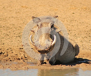 Warthog - African Mud Therapy Stock Photos - Image: 26504273