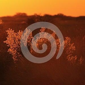 Golden Bush - Sunset, Africa !!! Royalty Free Stock Photo - Image: 26517295
